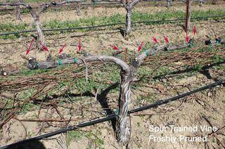 Pruned-Vine